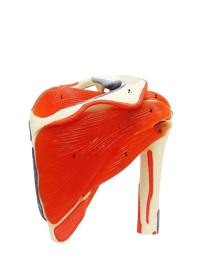 Oversikt over skulder bakfra. 1. Supraspinatusmuskel 2. Supraspinatussene 3. Infraspinatusmuskel 4. Infraspinatussene 5. Teres minormuskel 6. Teres minorsene 7. Acromion (en del av skulderbladet - under dette ligger det subacromiale rommet der det kan bli konflikt mellom skjelett og bløtdeler ) Subscapularis som også er en del av rotatorcuffen ligger på fremsiden av skulderbladet og synes ikke på dette bildet.